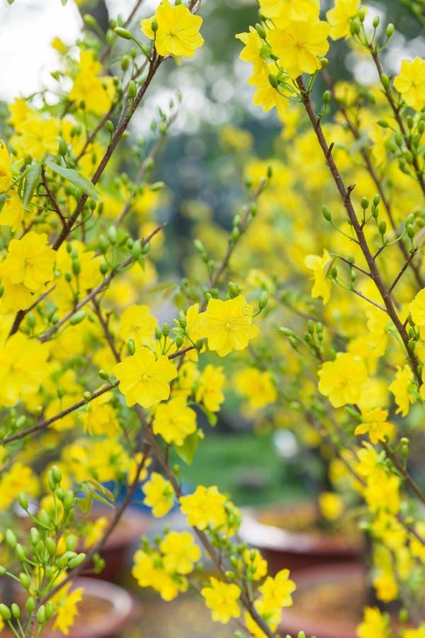 Árvores da flor de Tet os símbolos de feriados lunares do ano novo imagens de stock