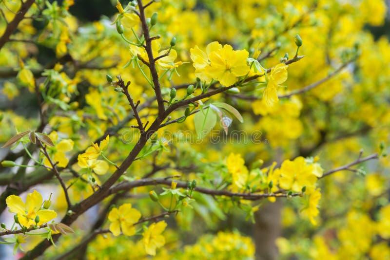 Árvores da flor de Tet os símbolos de feriados lunares do ano novo foto de stock royalty free