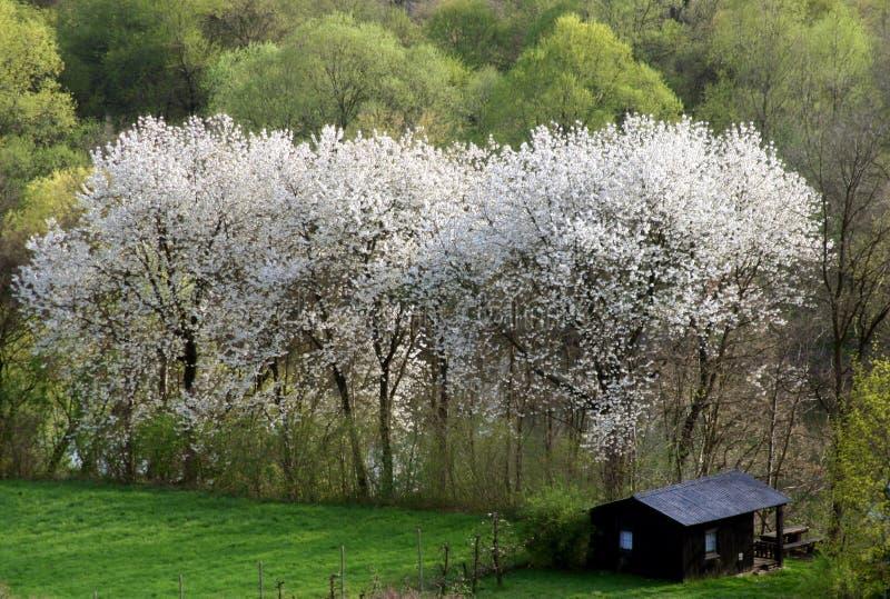 Árvores da flor na floresta foto de stock royalty free