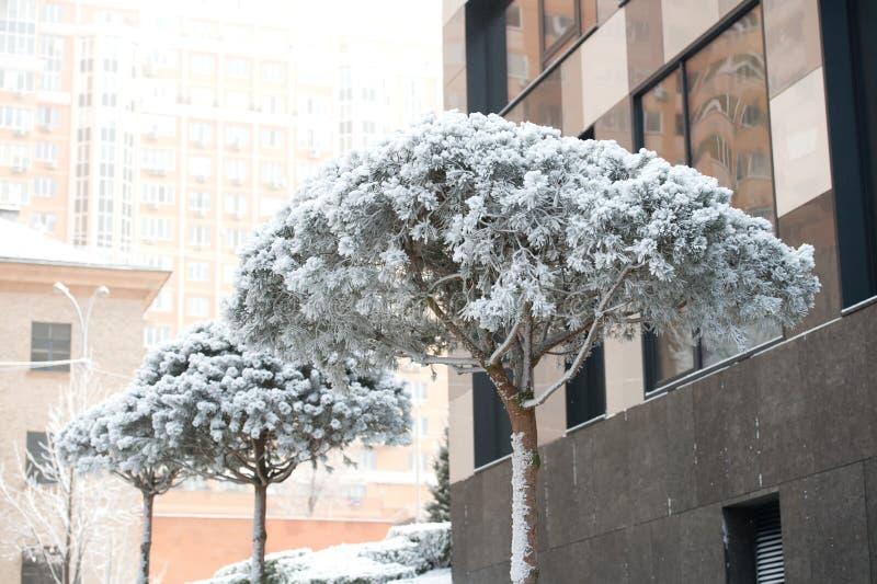 Árvores da folha da agulha cobertas com a neve branca no fundo urbano foto de stock