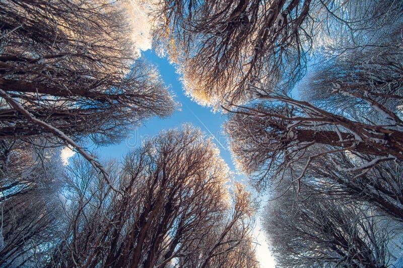 Árvores da neve do inverno do fundo no céu azul com nuvens, vista de baixo em um dia ensolarado gelado, plano no céu fotos de stock