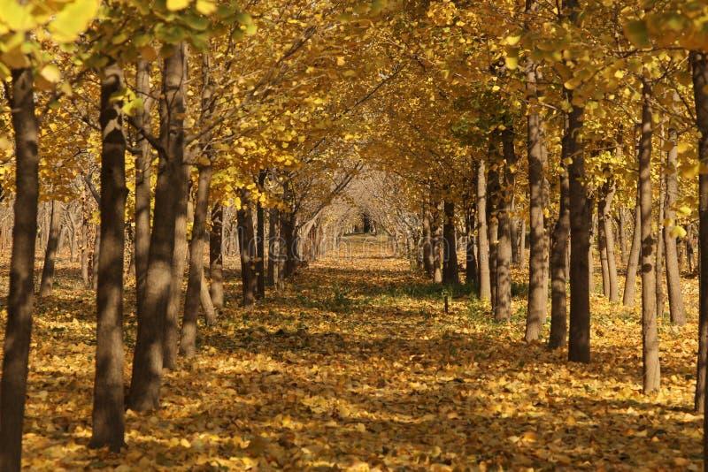 Árvores da nogueira-do-Japão imagem de stock