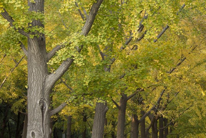 Árvores da nogueira-do-Japão foto de stock