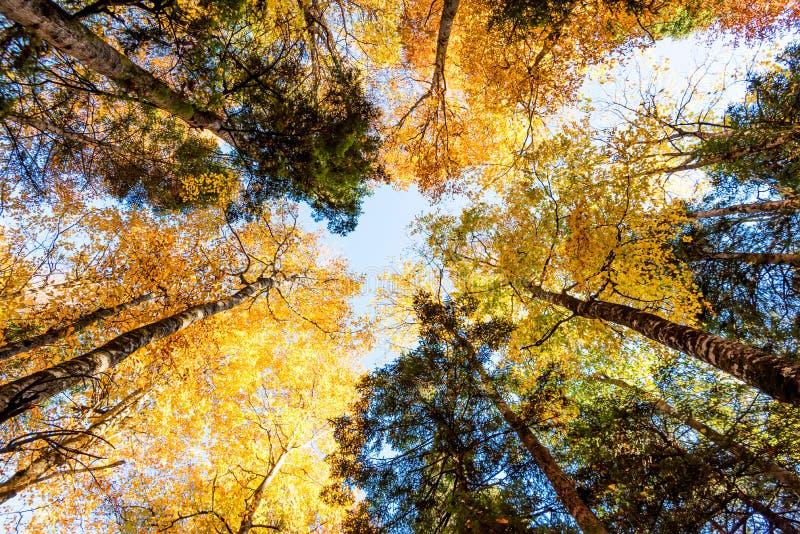 Árvores da opinião de Bootom na floresta ensolarado bonita do outono imagem de stock royalty free