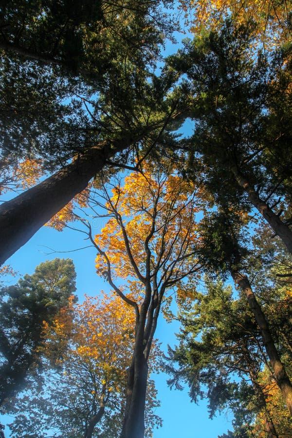 Árvores da queda, alcançando para o céu fotografia de stock royalty free