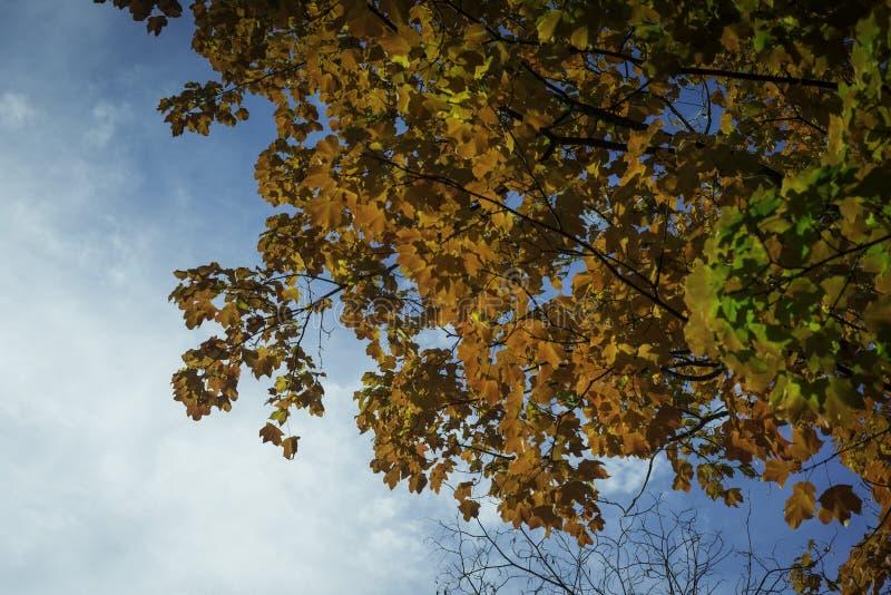 Árvores da queda com céu azul fotografia de stock