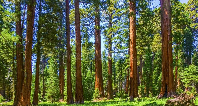 Árvores da sequóia no parque nacional de sequóia perto da área gigante da vila fotografia de stock