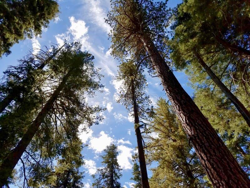 Árvores da sequoia fotografia de stock royalty free