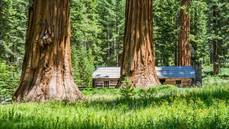 Árvores da sequoia gigante fotos de stock royalty free