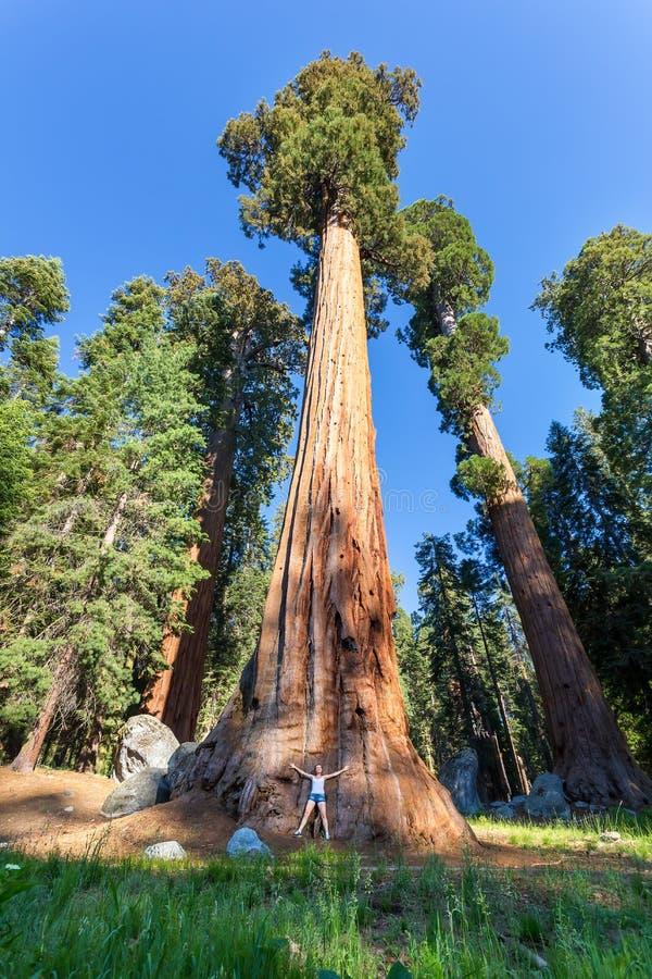 Árvores da sequoia vermelha da sequoia gigante com céu azul imagem de stock
