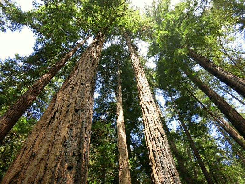 Árvores da sequoia vermelha na floresta fotografia de stock royalty free