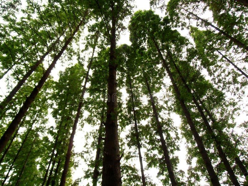 Árvores de álamo foto de stock