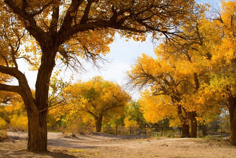 Árvores de álamo na estação do outono fotografia de stock