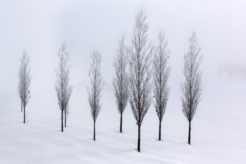 Árvores de álamo no ambiente macio, tranquilo no tempo de inverno foto de stock royalty free