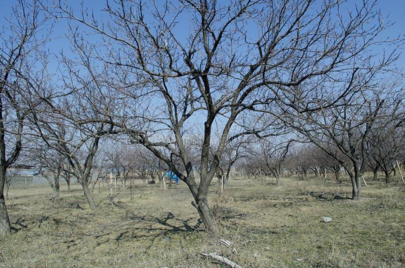 Árvores de abricó na mola adiantada ilustração stock