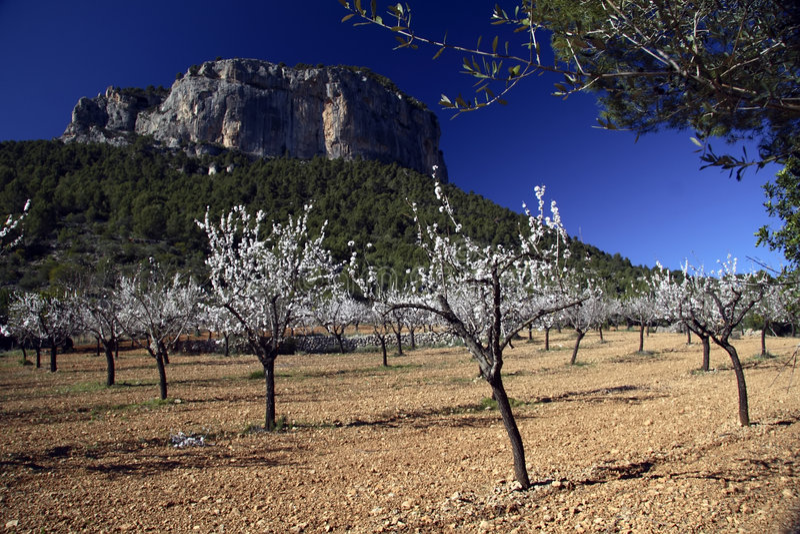 Árvores de amêndoa fotos de stock royalty free