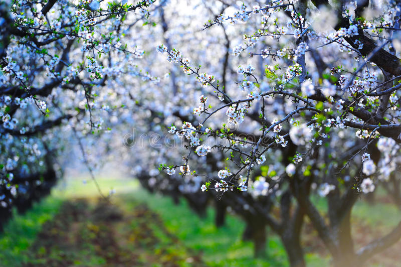 Árvores de amêndoa da flor imagem de stock