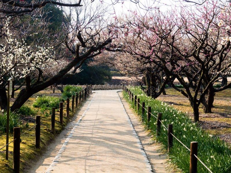 Árvores de ameixa de florescência foto de stock