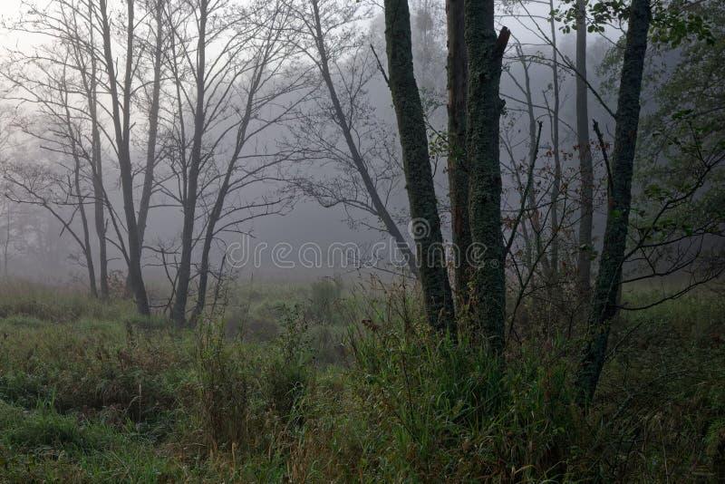 Árvores de amieiro na manhã enevoada fotos de stock