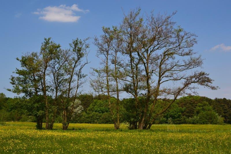 Árvores de amieiro velhas na primavera. imagem de stock royalty free