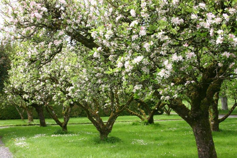 Árvores de Apple fotografia de stock