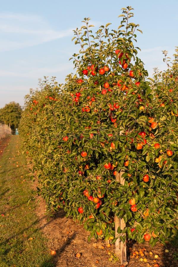 Árvores de Apple com lotes das maçãs vermelhas prontas para ser arrancado imagem de stock royalty free