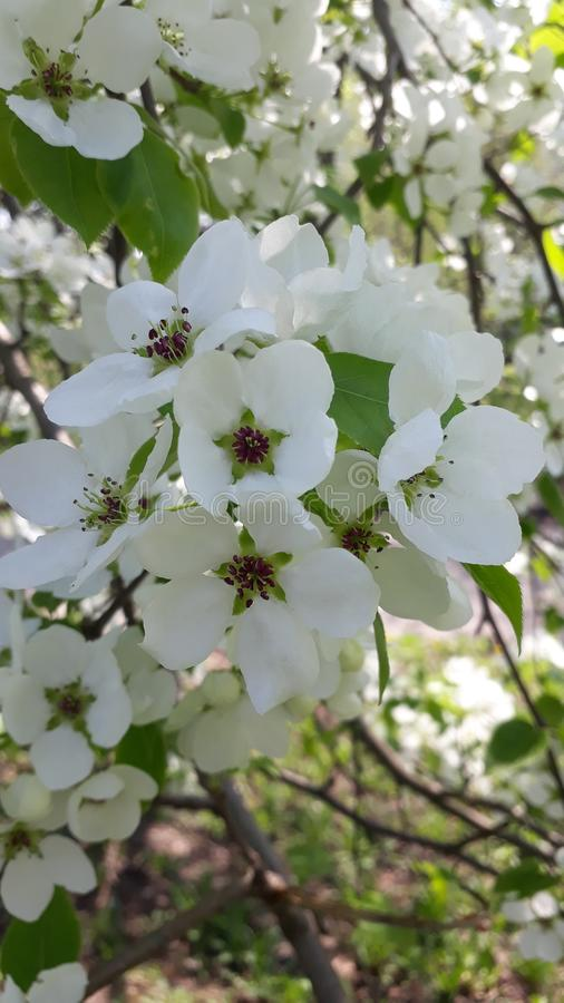 Árvores de Apple na flor no branco brilhante da mola imagens de stock