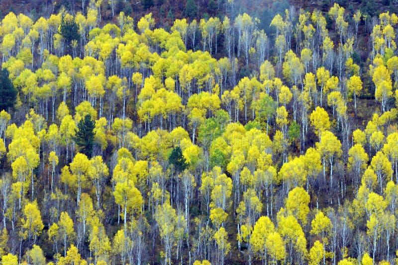Árvores de Aspen fotografia de stock