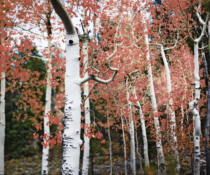 Árvores de Aspen com folhas vermelhas fotografia de stock