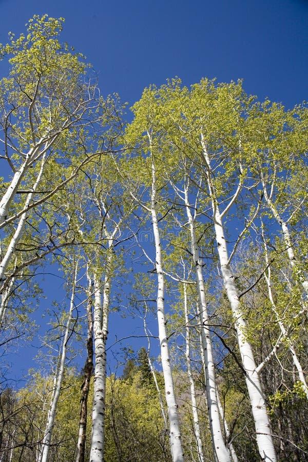 Árvores de Aspen e céu azul foto de stock royalty free