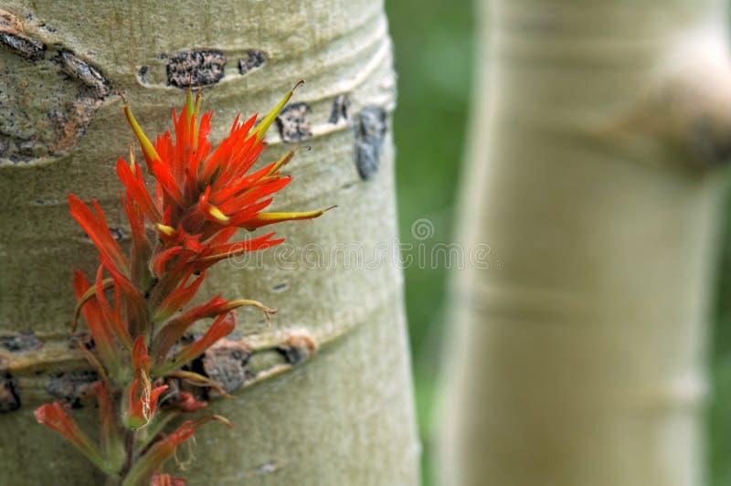 Árvores de Aspen e pincel indiano fotografia de stock royalty free