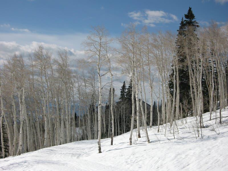Árvores de Aspen no inverno imagens de stock