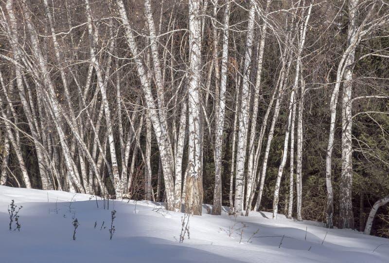 Árvores de Aspen no inverno fotos de stock royalty free