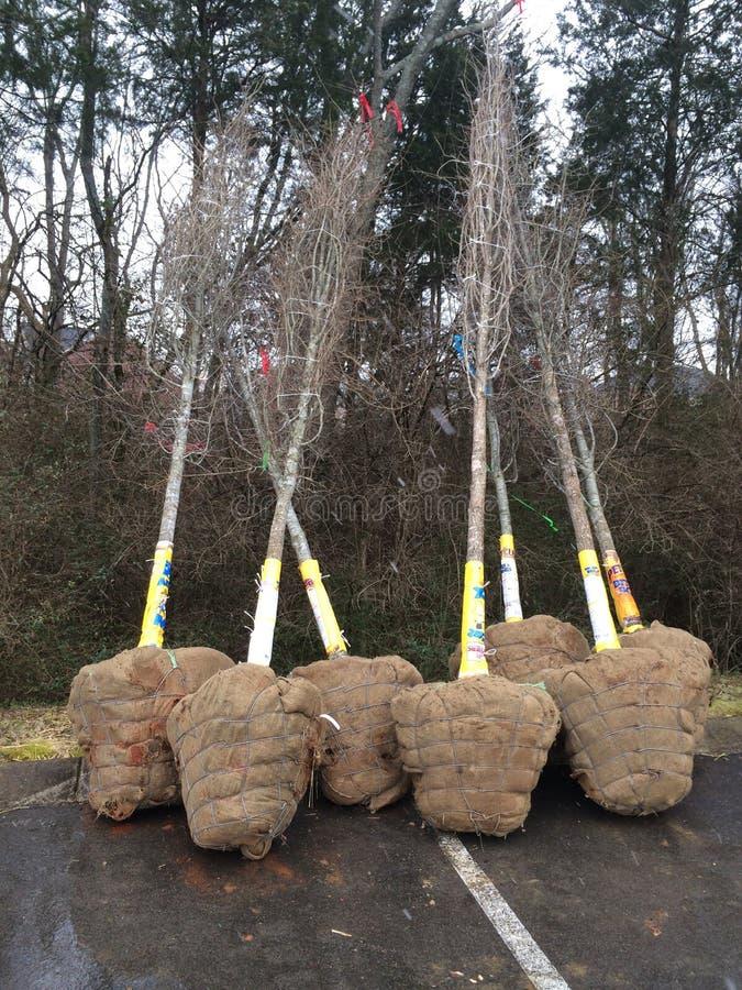 Árvores de Balled e de Burlapped imagens de stock royalty free