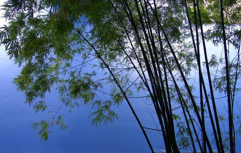 Árvores de bambu no bosque   fotografia de stock royalty free