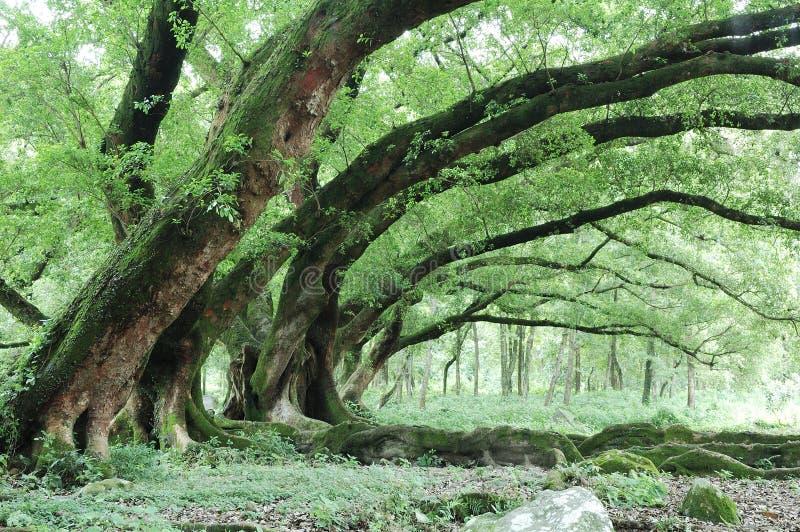 Árvores de Banyan imagem de stock