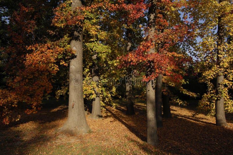 Árvores de bordo vermelho foto de stock