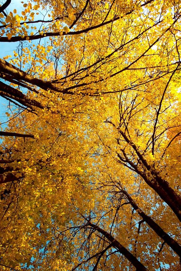 Árvores de bordos no outono imagens de stock royalty free