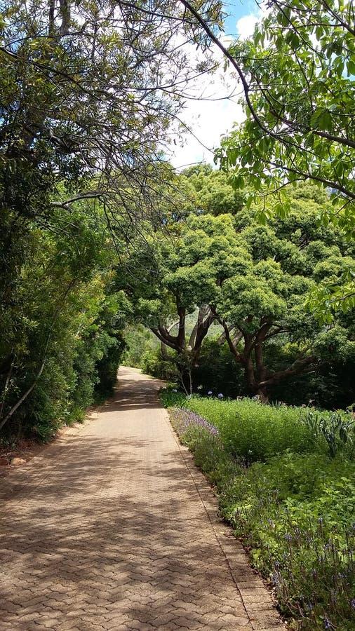 Árvores de cânfora fotografia de stock