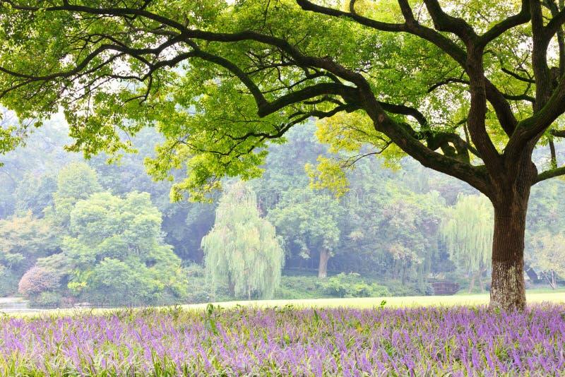Árvores de cânfora no parque fotografia de stock royalty free