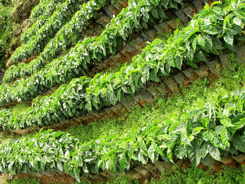 Árvores de café fotos de stock
