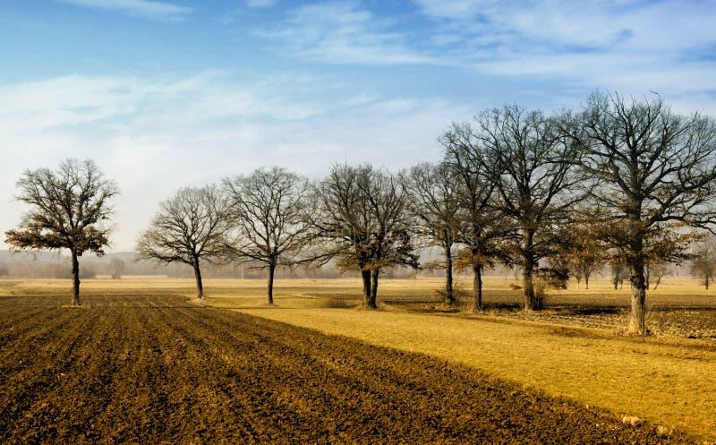 Árvores de carvalho no campo do campo foto de stock