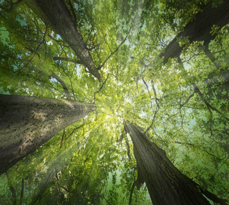 Árvores de carvalhos grandes velhas fotografia de stock