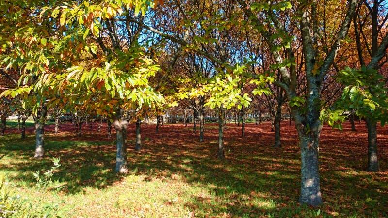 Árvores de castanha foto de stock