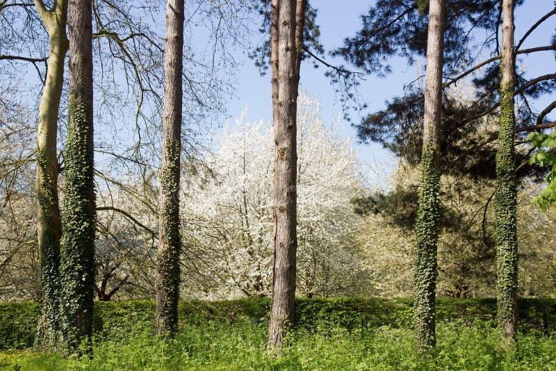 Árvores de cereja brancas fotos de stock