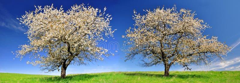 Árvores de cereja de florescência imagem de stock