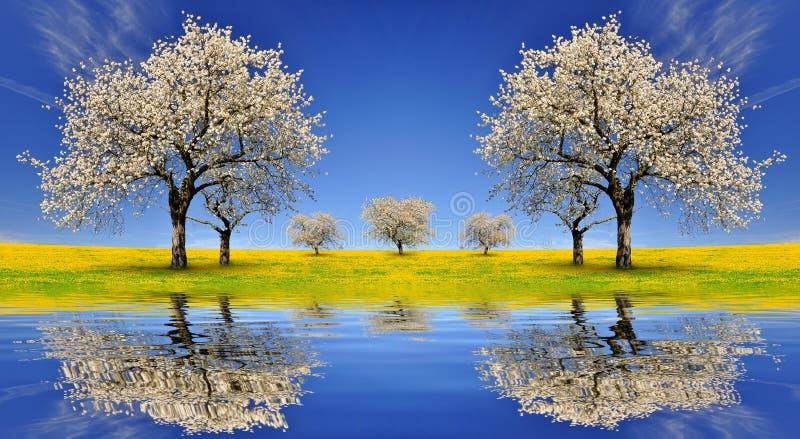 Árvores de cereja de florescência imagem de stock royalty free