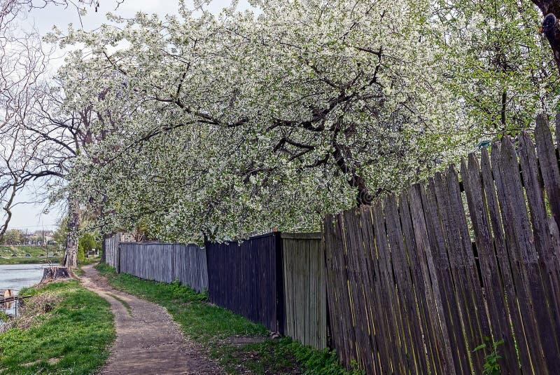 Árvores de cereja de florescência acima do trajeto e da cerca de madeira foto de stock royalty free