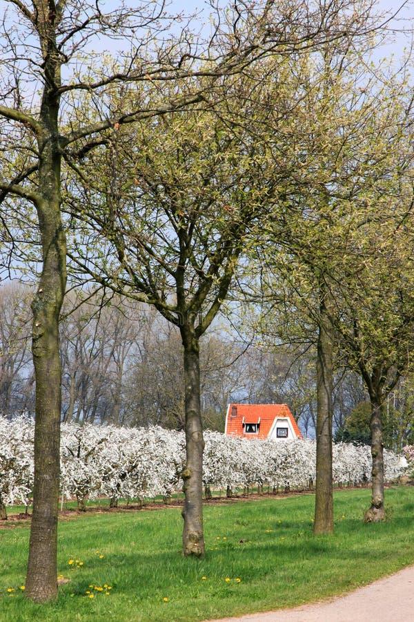 Árvores de cereja de florescência nos Países Baixos imagens de stock royalty free