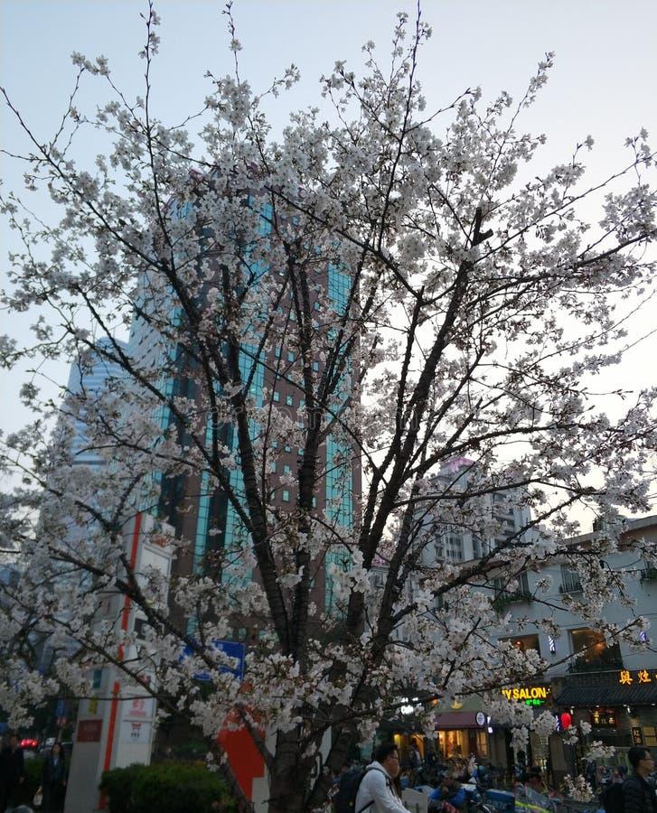 Árvores de cereja lindos que florescem no streett foto de stock royalty free
